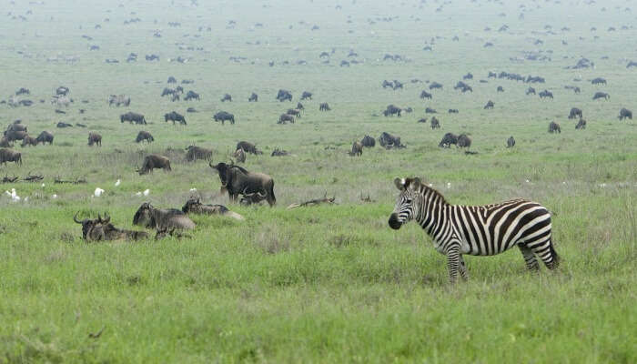 zebra and wildebeest