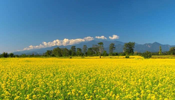 A Mustard Field
