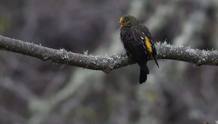 A Yellow Rumped Honeyguide Bird