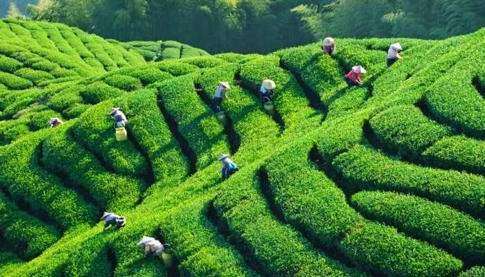 Giragama Tea Plantations