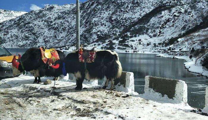 yak at the Chango Lake