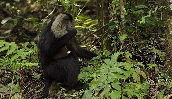 Lion Tailed Macaque Trail