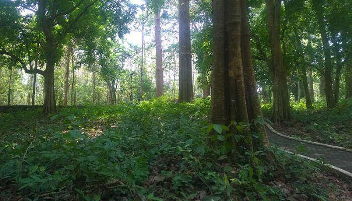 A Teak Forest
