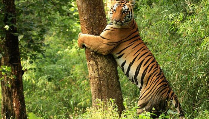 A Tiger at Kanha National Park