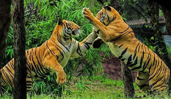 showing tigers fight in the pic