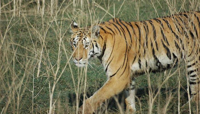 A Tiger at Pench National Park