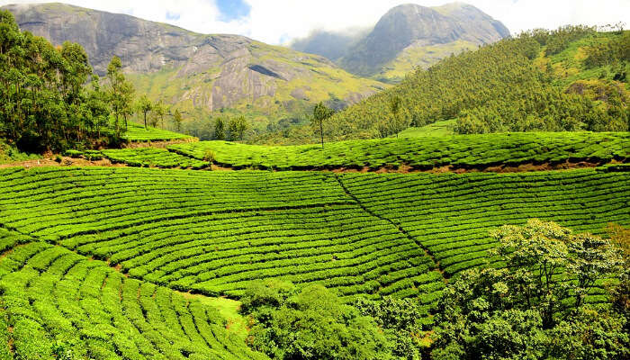 A Vast Green Tea Garden