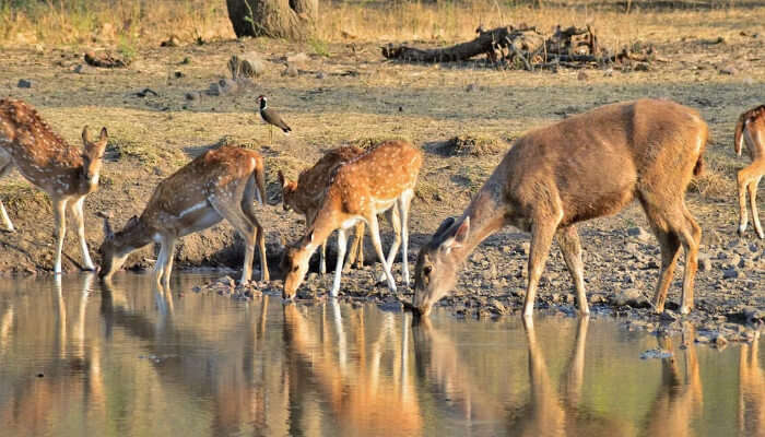Deers at Ranthambore National Park