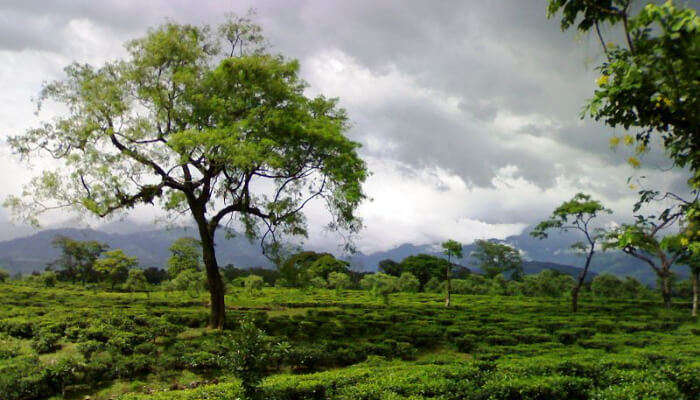 Tea Gardens in Dooars region